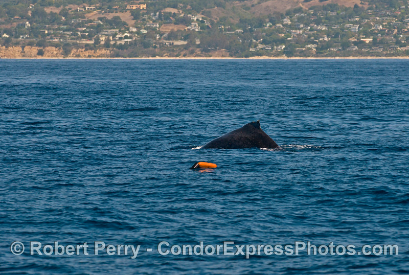 A humpback whale swims in northern Santa Barbara Channel.  You can see the coastline in the background and a float marking a crab trap in the foreground