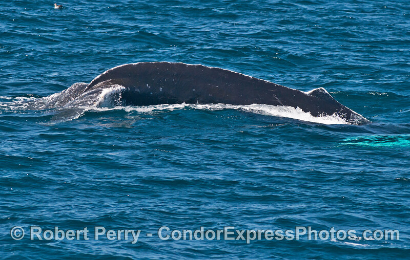 White scars across the back of this humpback whale might have come from males competing on the mating grounds