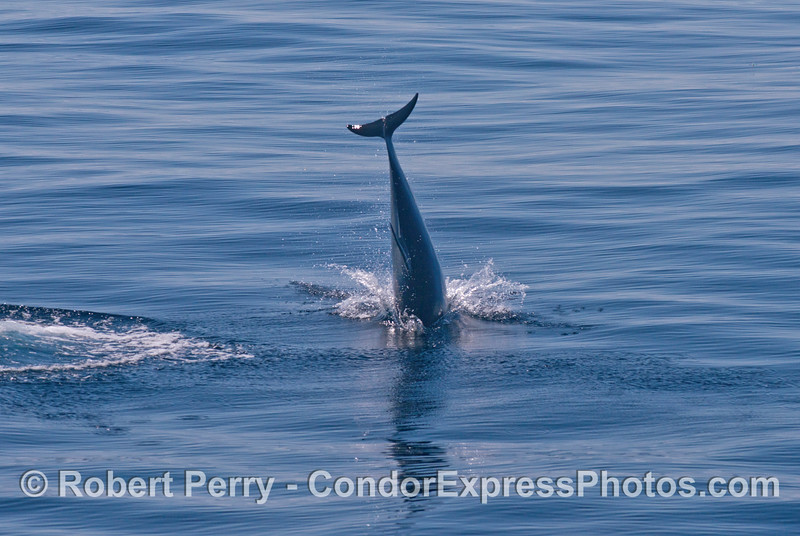 Head stand - Long beaked common dolphin