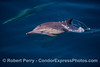 Delphinus capensis calf 2014 08-26 SB Channel-081