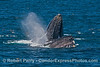 Image 2 of 3:  two humpback whales cooperate and surface lunge feed on a large northern anchovy school.