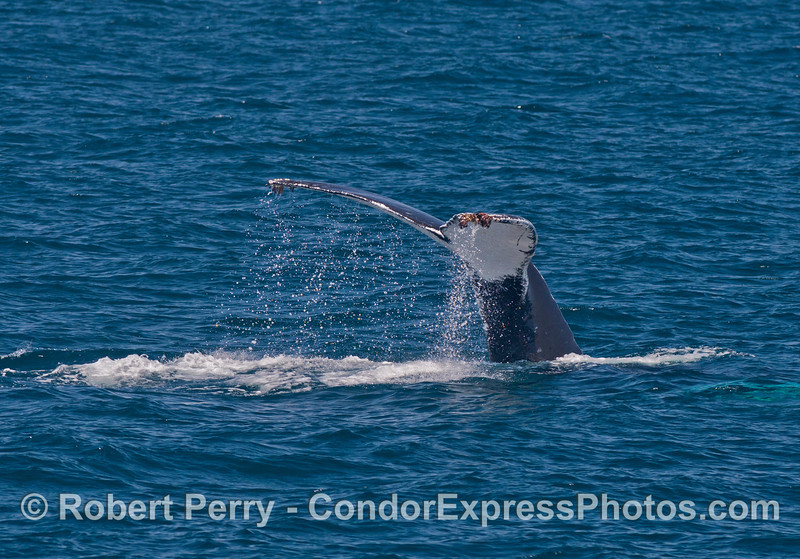 Humpback whale tail flukes - all white on the bottom
