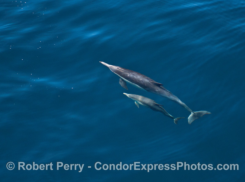 Mother and her calf Long beaked common dolphins