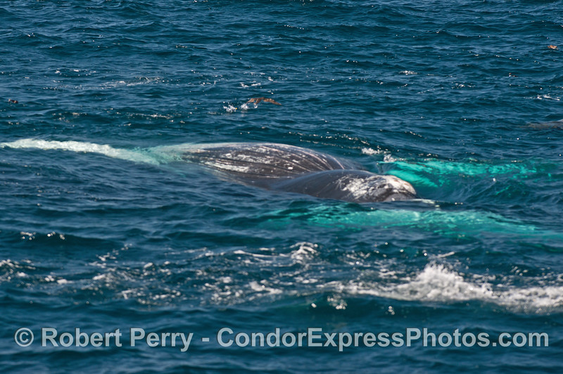 The ventral grooves in the blubber can be seen in this competely upside down humpback whale