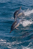Long beaked common dolphins