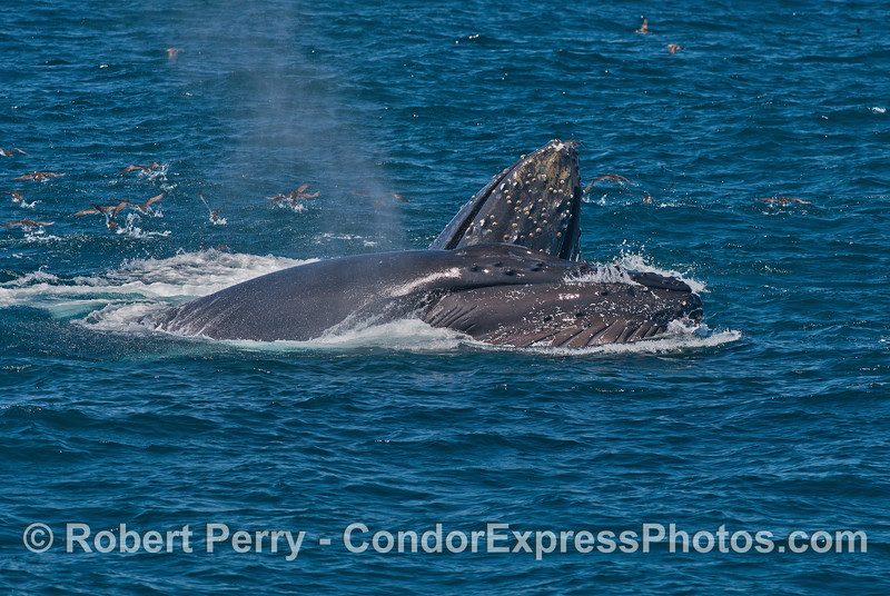 Image 3 of 3:  two humpback whales cooperate and surface lunge feed on a large northern anchovy school.
