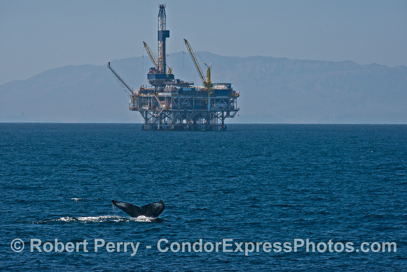 Humpback tail and Platform Gilda