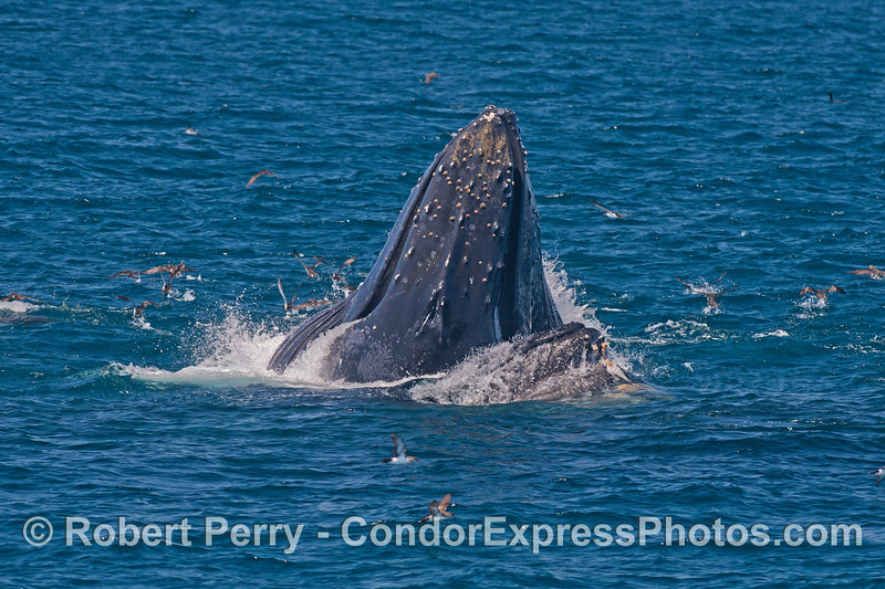 Image 1 of 3:  two humpback whales cooperate and surface lunge feed on a large northern anchovy school.  Black-vented shearwaters are sent scattering.