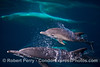 Delphinus capensis cow & calf 2014 08-26 SB Channel-076