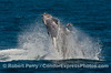 Image 4 of 5 in a row:  Now the calf is fully airborne and the mother is obscured by the spray.