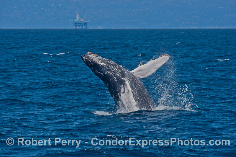 Offshore oil platform Habitat is seen in the background as this humpback whale breaches