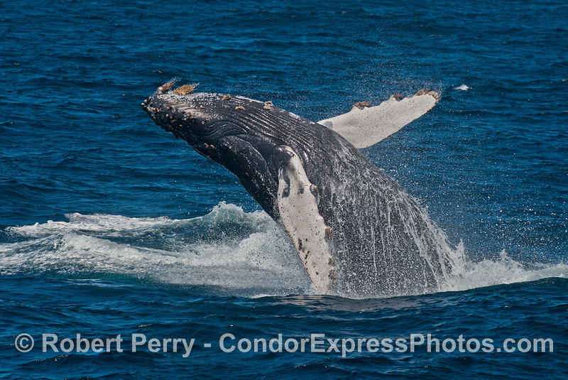 A humpback whale calf breached for an hour and a half.