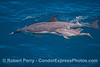 A little common dolphin calf swims alongside its mother