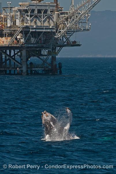 Breaching humpback near offhore platform Habitat