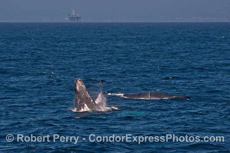 Mother (in back) and her fully energized and amazing calf.  Platform Habitat is in back.