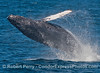 Image 1 of 3:  A humpback whale prepares for the big splash.
