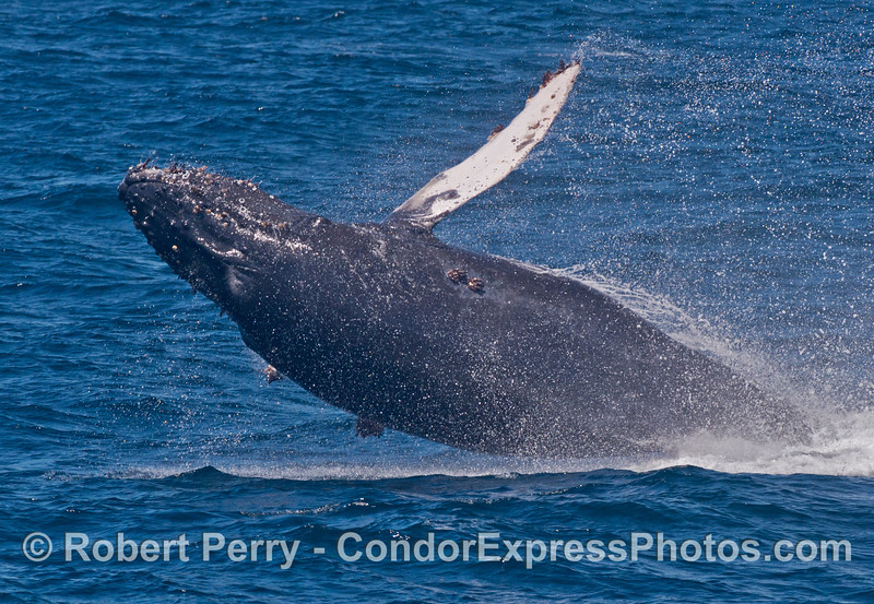 Image 2 of 3:  A humpback whale prepares for the big splash.