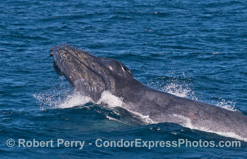 Image 1 of 5 in a row:  It began with the mother lifting her head and doing a giant chin slap on the water.