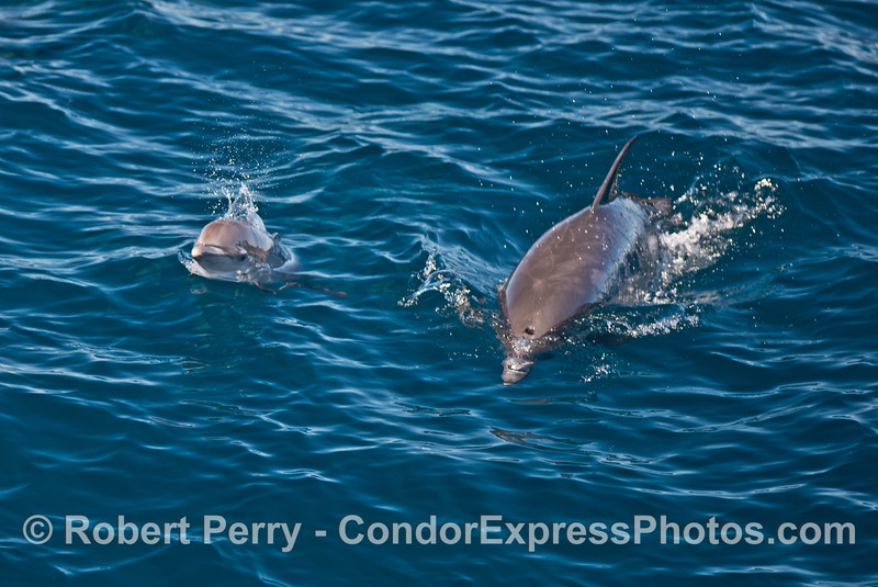 Tiny calf and mother common dolphins