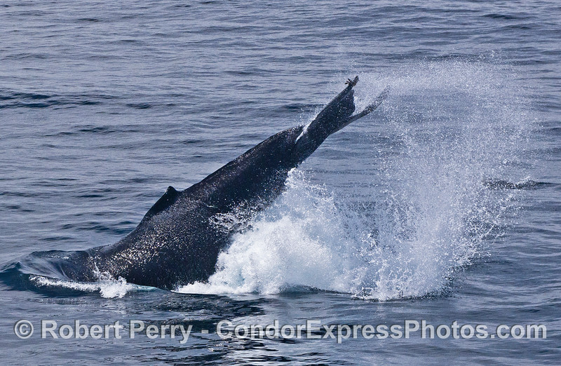 Image 2 of 3:  A side view, a humpback whale throws its giant tail