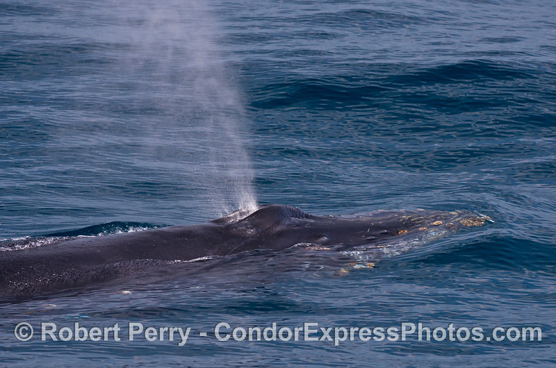 Image 2 of 3 in a row:   a very friendly humpback whale is seen close up in crystal clear water