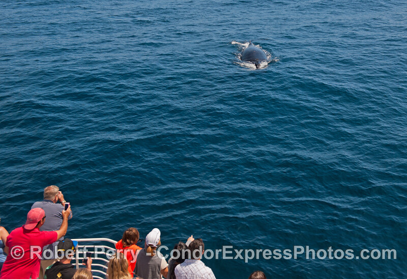 """Here it comes !   A humpback whale and its fan club prepare to meet """"close up and personal"""""""