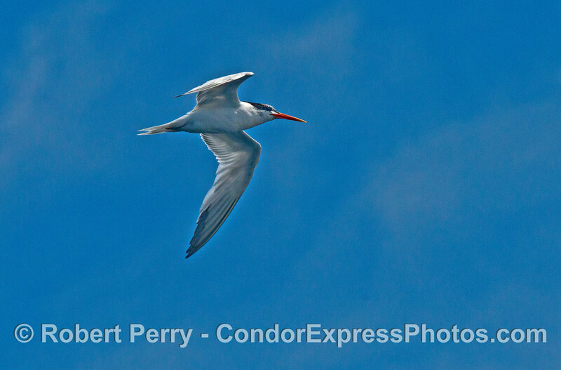 A very communicative (noisy) elegant tern flies overhead to view the action