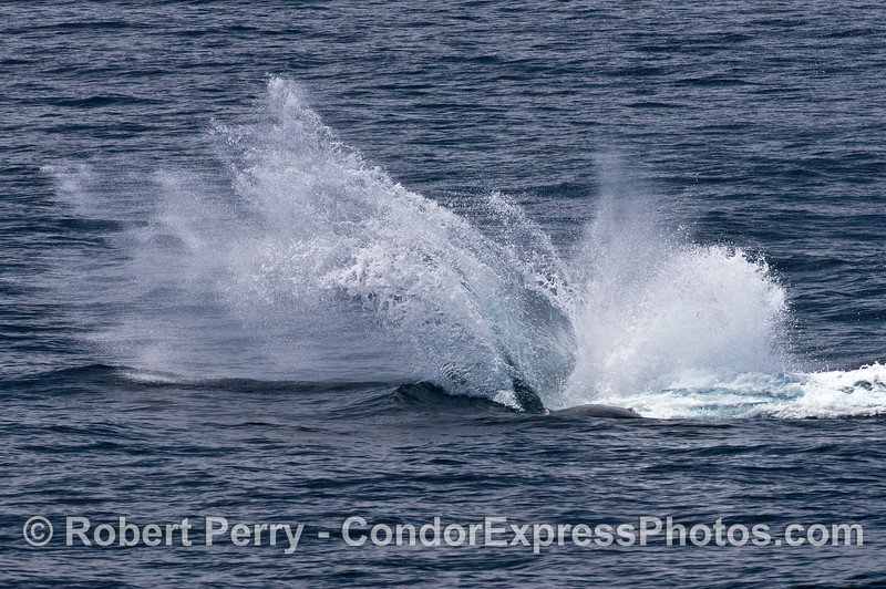 Image 3 of 3:  The huge splash, a humpback whale throws its giant tail