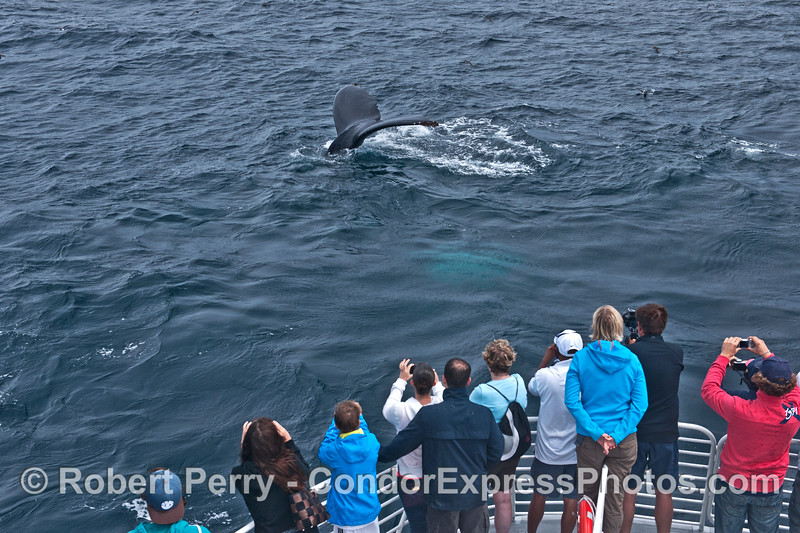 A very friendly humpback whale takes a dive close to its fan club