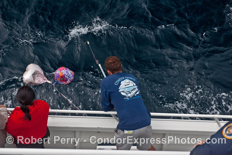 Condor Express deck hand Augie uses a gaff to retrieve mylar balloons that have blown out to sea, lost their gas, and were a drifting nuisance and potentially harmful to marine life.  BAN HELIUM BALLOONS !