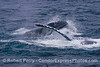 Image 3 of 3 in a row:  surface lunge feeding humpback whales