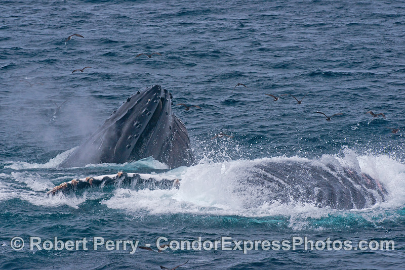 Image 1 of 3 in a row:  surface lunge feeding humpback whales