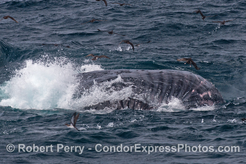 A belly-up humpback whale shows its expanded ventral groove blubble.  Underwater and out of view water is being ejected from the pouch and anchovies are retained inside the baleen.  Numerous black-vented shearwaters scatter as the whale surfaces.