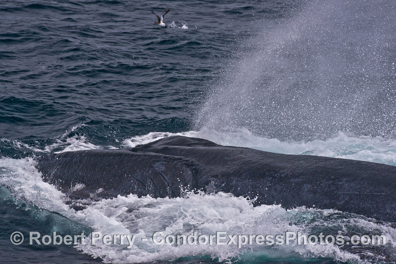 A humpback whale comes to the surface with its oral pouch distended and full of water and anchovies.