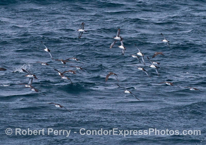 A small part of a large and active flock of black-vented shearwater