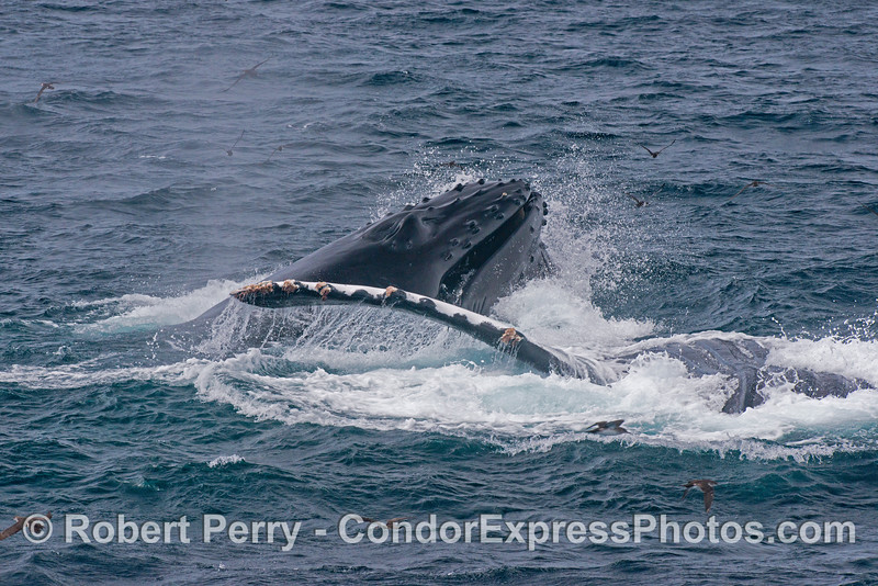 Image 2 of 3 in a row:  surface lunge feeding humpback whales