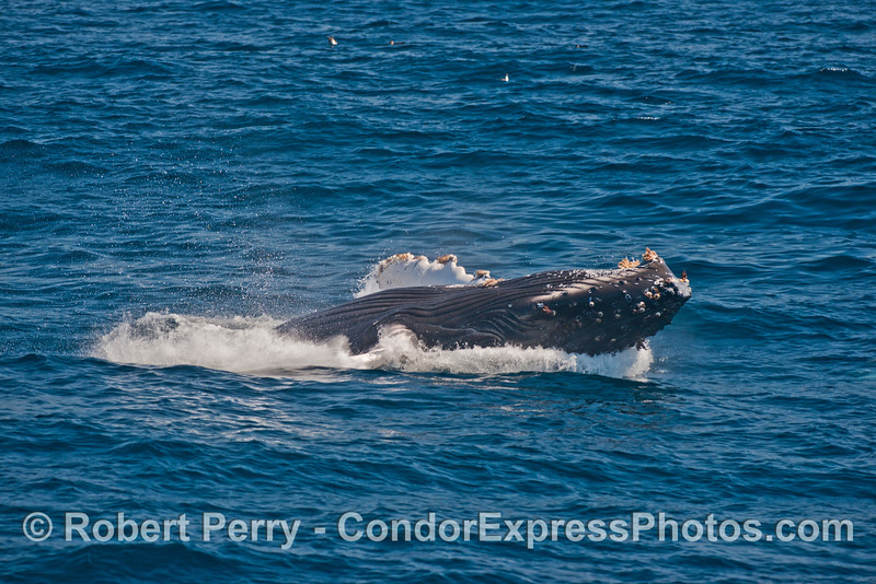 A completely upside down humpback whale hits the water during the final phase of its breaching
