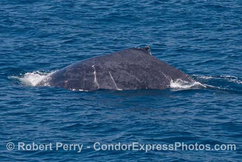 Left flanks of a humpback whale