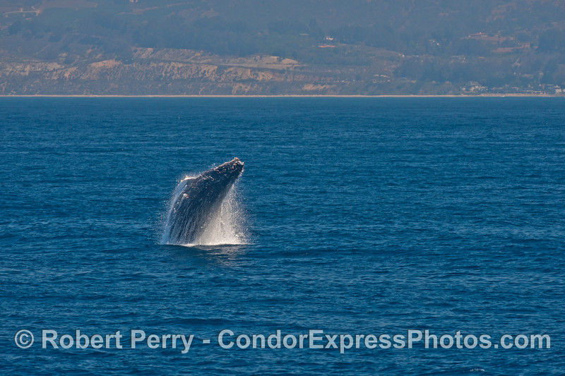 Image 1 of 4 in a row:   a humpback whale breaches with the west Ventura coast in the background.