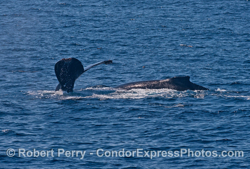 Mother humpback kicks up her flukes with her calf nearby