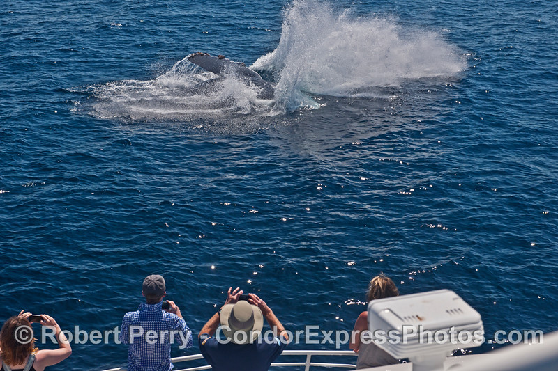 Image 2 of 2:   a humpback whale breaches very close to its fan club on the Condor Express.