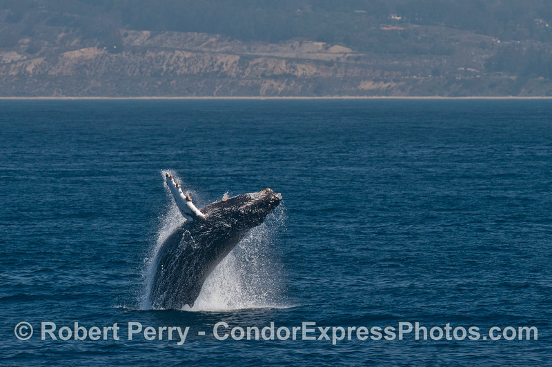 Image 2 of 4 in a row:   a humpback whale breaches with the west Ventura coast in the background.