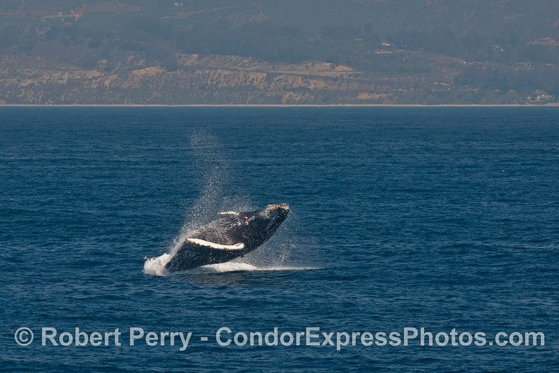 Image 4 of 4 in a row:   a humpback whale breaches with the west Ventura coast in the background.