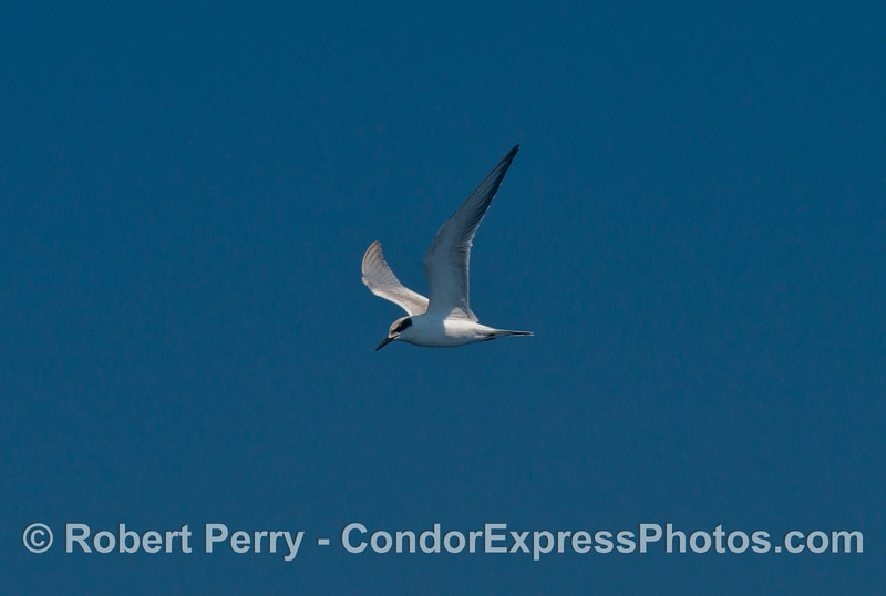 A Forster's tern juvenile in flight - thanks to the SB County bird listserv for help with identification !
