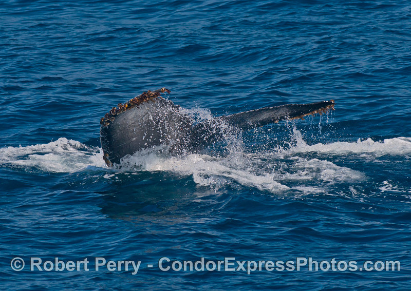 Tail flukes - last look as the whale disappears beneath the waves