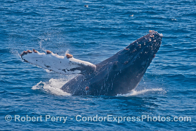 A very close up look at a breaching humpback whale