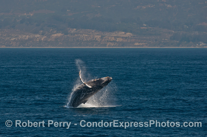 Image 3 of 4 in a row:   a humpback whale breaches with the west Ventura coast in the background.