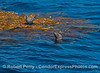 A drifting paddy of giant kelp with a Heermann's gull on top and a California sea lion in the water.  Giant kelp paddies like this are oasis for life on the open ocean.