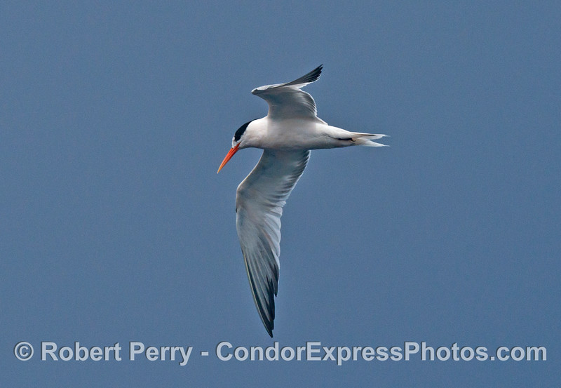 An elegant tern shown in hunting posture