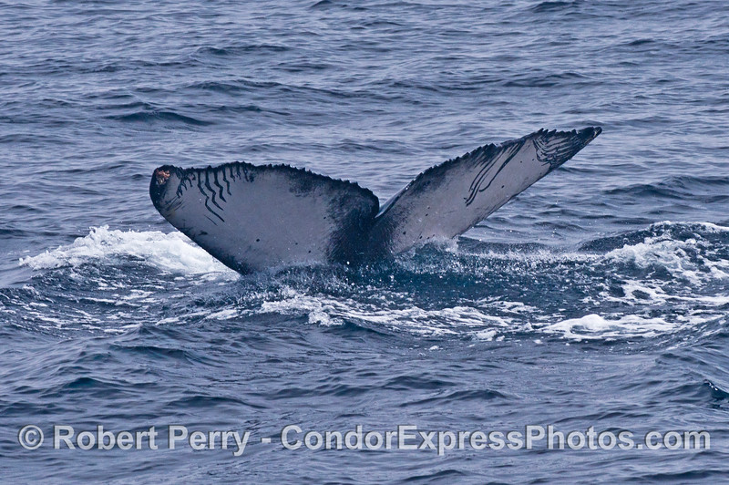 """Tail flukes of a juvenile humpback whale show """"rake"""" marks from an Orca attack"""